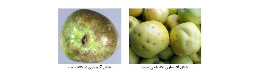 کمبود کلسیم در درخت سیب