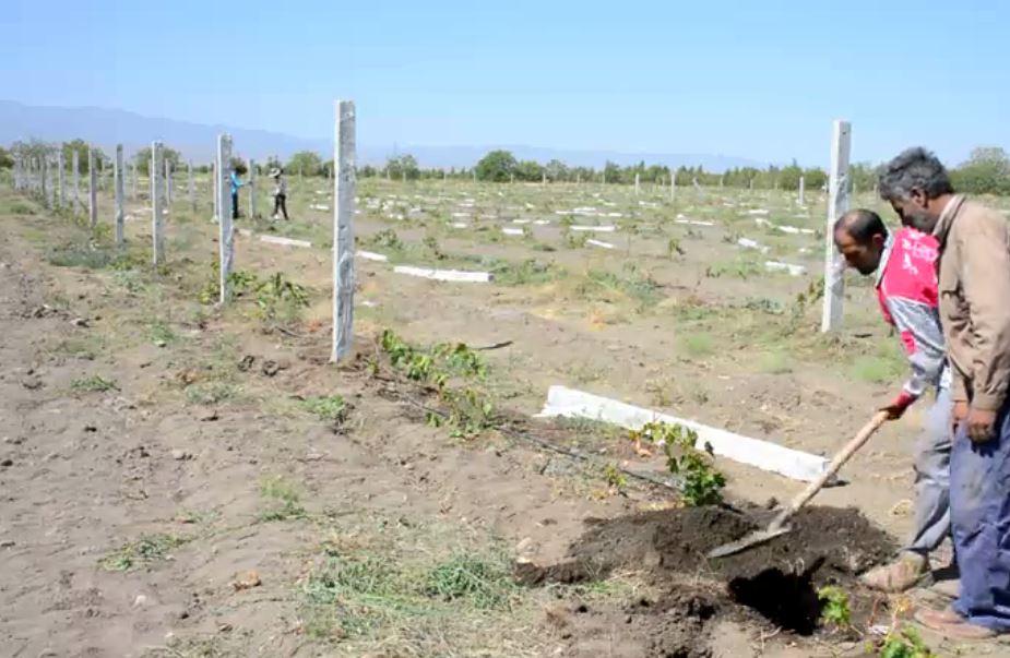 احداث باغ انگور